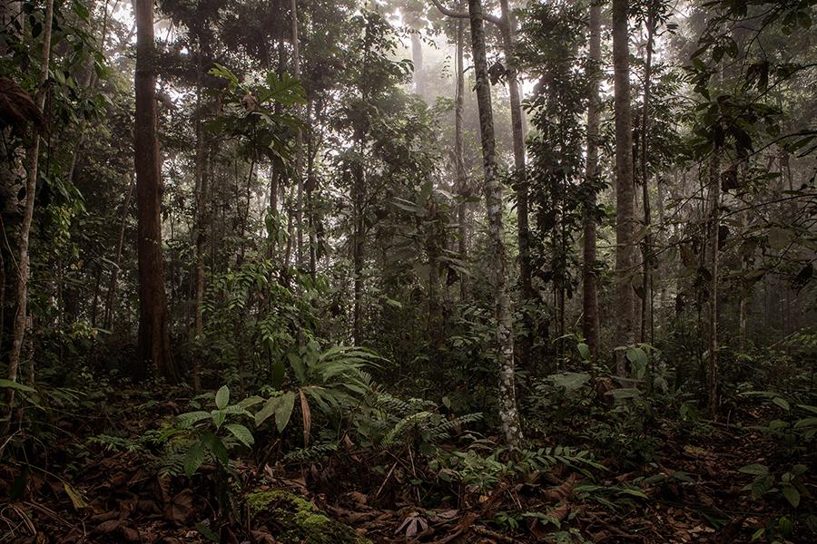 Penan, Borneo, Anholzung